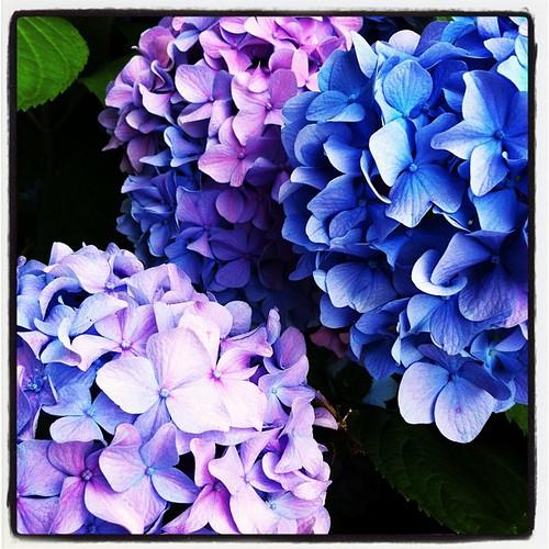 Hydrangea | A Gardener's Notebook