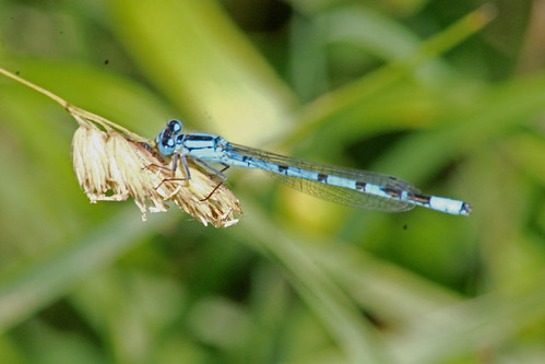 Azure Damselfly by TonyKRO