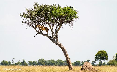 Kenia - Masai Mara 48