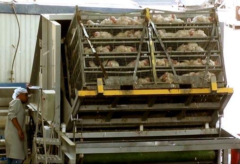 זוגלובק - תרנגולים נשפכים ממשאית כמו חצץ