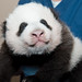Giant Panda Cub Oct. 29, 2013 by Smithsonian's National Zoo