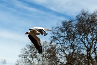 Pélican en plein vol à St Jame's Park