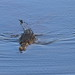 Small photo of African crocodile swimming by.