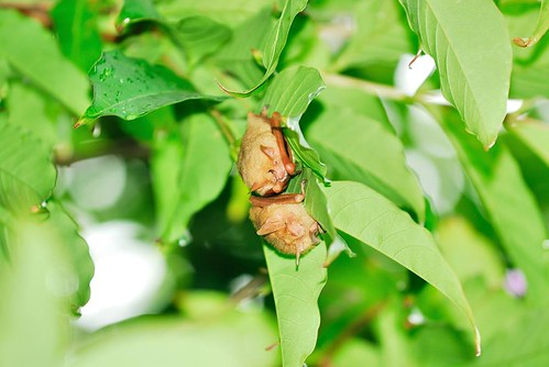 3到8月間,嘉南平原的闊葉樹上,常有金黃鼠耳蝠,一到冬天就不見蹤跡。(攝影:周政翰)