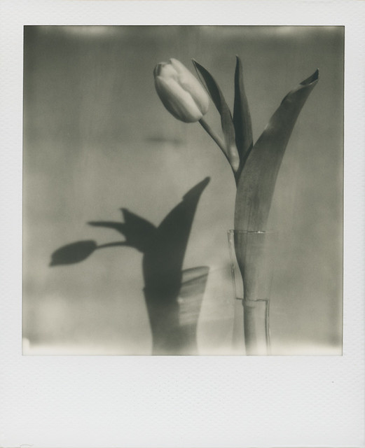 Grey tulip - Copyright © 2014 Marcin Michalak Photography.