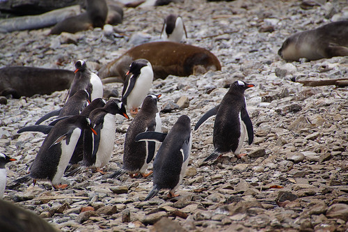 315 Ezelspinguins