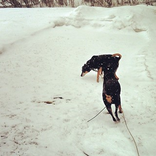 At least they're having fun in the #snow this morning. #dogstagram #instadog #dobermanmix #coonhoundmix #rescue #adoptdontshop #winterwonderland