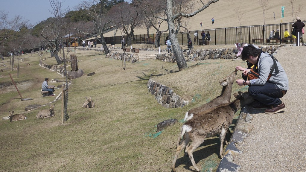 Feeding Deer on Wakakusayama Hill