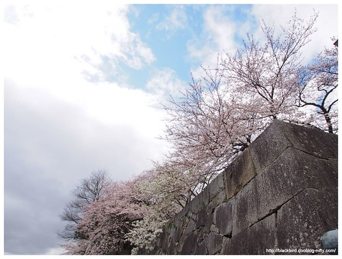 Cherry blossoms 140404 #05