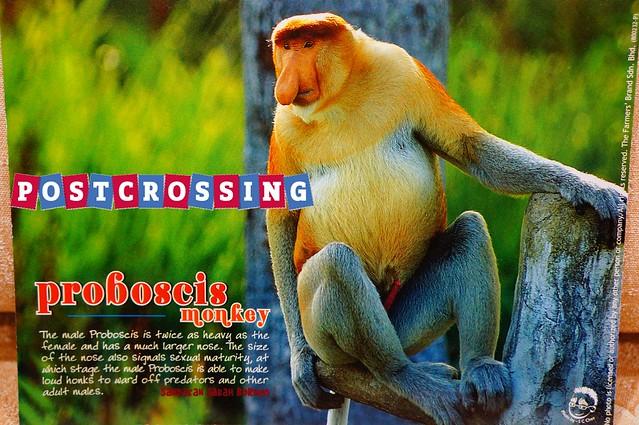 Sabah - Proboscis Monkey