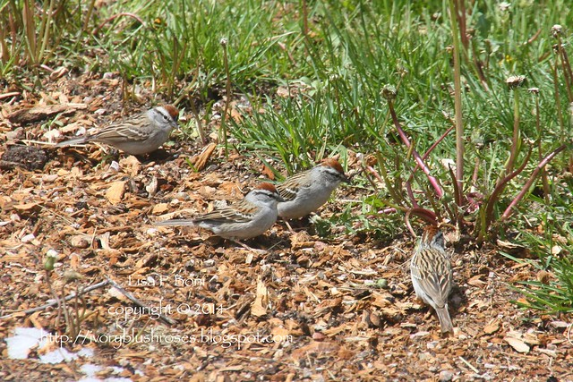 2014.05.12ChippingSparrows04