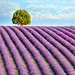 The Lavender Tree by Ray Bradshaw.