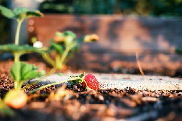 strawberry shine