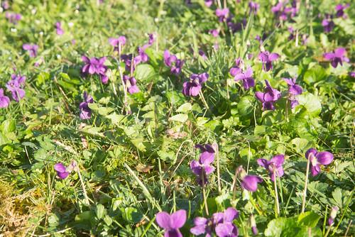 95-Denguin violettes
