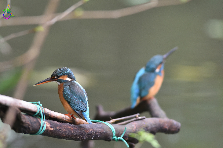 Common_Kingfisher_4282