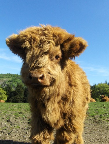 Baby Heilan' Coo