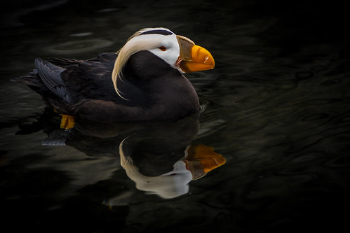 Tufted Puffin 2