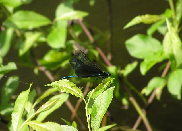 Harilik vesineitsik/ Calopteryx virgo