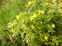 evergreen, shrub, flower, yellow, plant, subshrub, flora, evening primrose,
