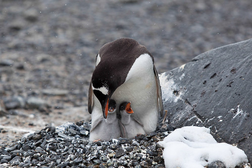 A Gentoo penguin feeding the chicks, Brown Bluff. by waveletr