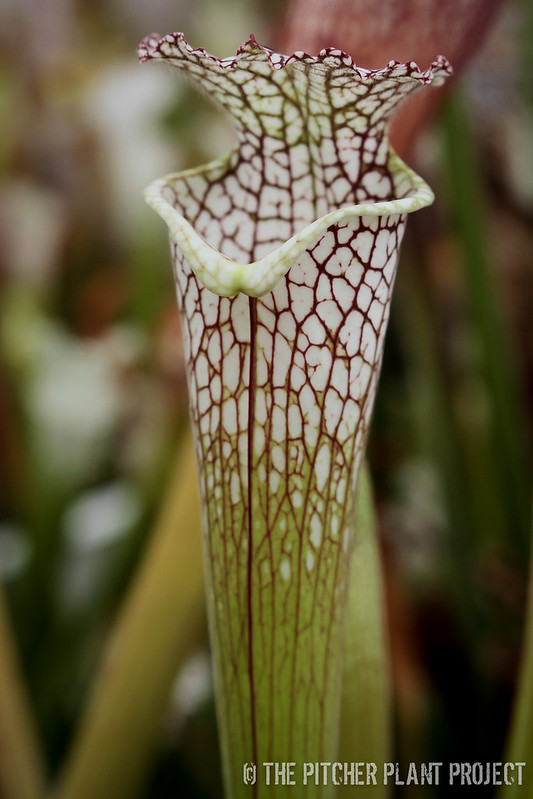 """Sarracenia leucophylla """"Juju Lips"""""""