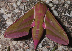 Small Elephant Hawk-Moth 1