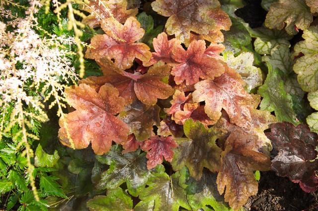 Heucherella Brass Lantern - Page 2 9498115932_af71097567_z