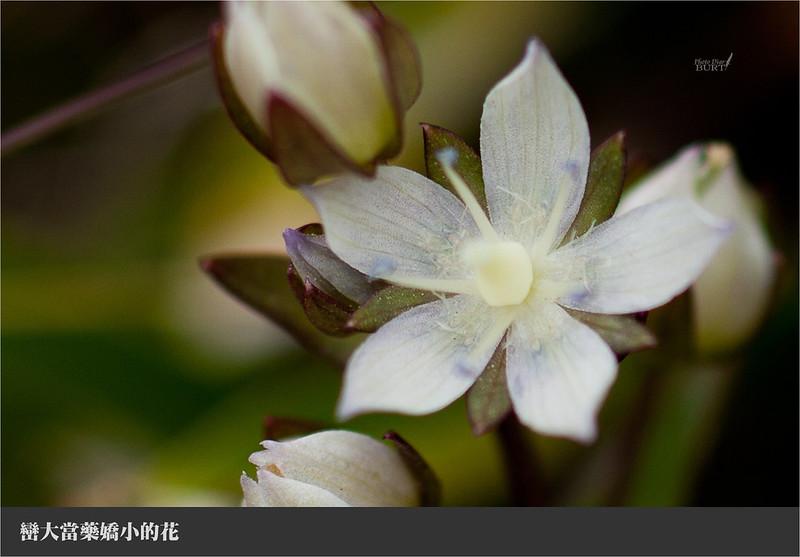巒大當藥嬌小的花朵
