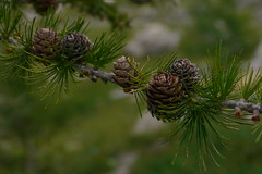 larch, flower, branch, pine, leaf, tree, nature, macro photography, flora, close-up, conifer cone, plant stem, fir, spruce, twig,