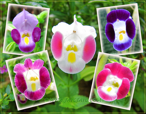 Collage showing the colorful faces of Torenia fournieri in our garden, August 13 2013