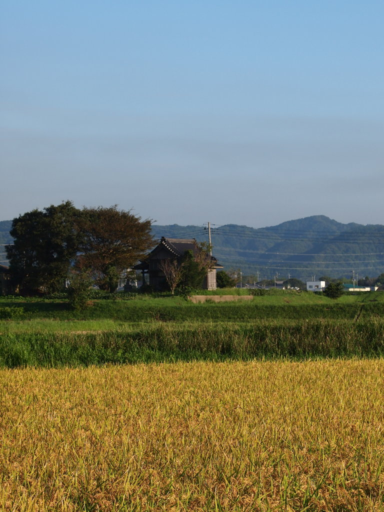 The Rice Paddy Fields and the Shinto Shrine