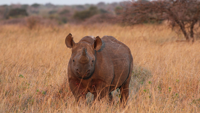 Head On I - Black Rhino