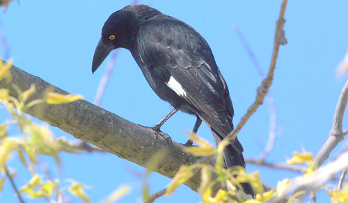 Pied Currawong in a poplar