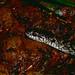 Mangrove Snake (Liophis cobellus) ©berniedup