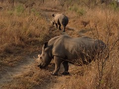 animal, grazing, rhinoceros, fauna, savanna, grassland, safari, wildlife,