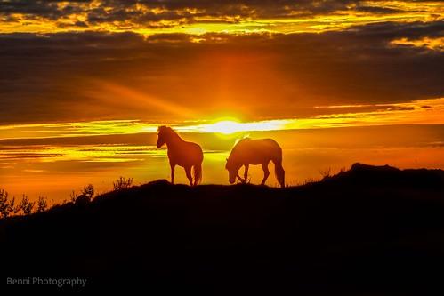 icelandic horses in midnight sun...