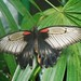 Small photo of Black and Tan Butterfly