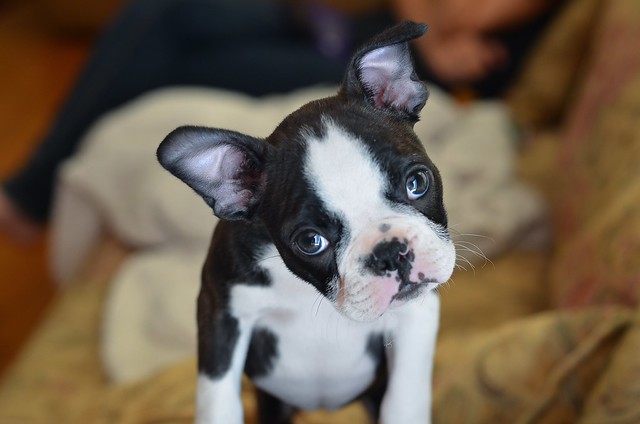 A small Boston Terrier puppy with her head cocked looking at the camera.