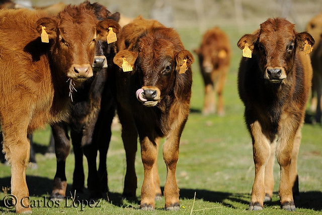 Vacas 07