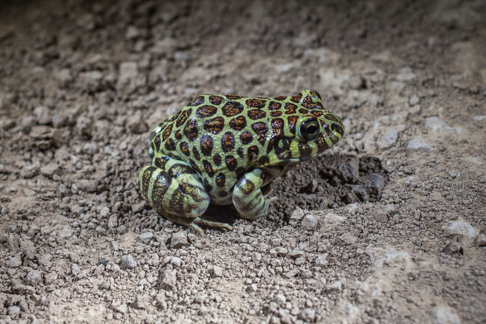 Rana coralina (Leptodactylus laticeps). Esta especie vive en las madrigueras profundas de las vizcachas y roedores. Se alimenta de otras ranas pequeñas y artrópodos, e incluso algunos tienen la habilidad de imitar el canto de las ranas de las que se alimenta. Su piel libera unas secreciones que pueden causar reacciones alérgicas ante el contacto. (Tetsu Espósito)