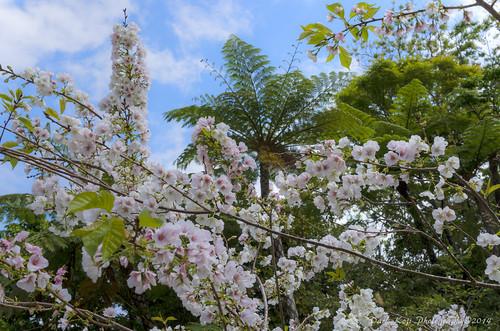 クメノサクラ | Okinawa, Japan #3