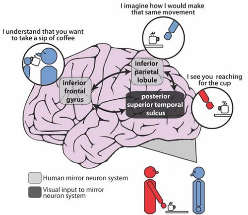 This illustration shows the mirror neuron system in the brain.