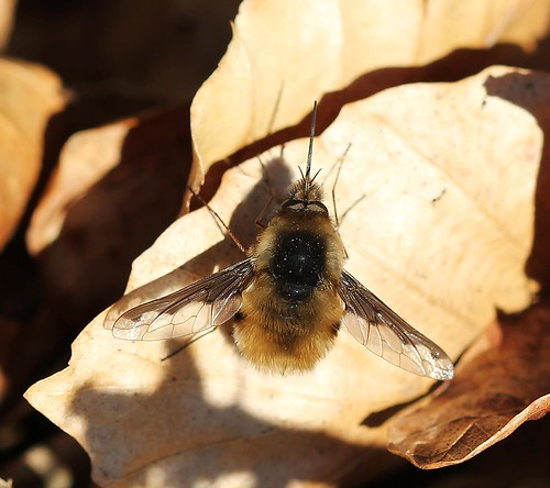 First Bee Fly This Year!