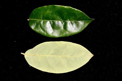 Palmeria hypotephra DSC_0318 (1)