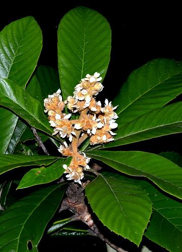 Eriobotrya japonica DSC_0636 (4)
