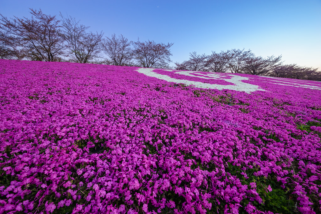 Moss phlox at Akabane