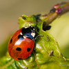 COCCINELLES06 by daumy