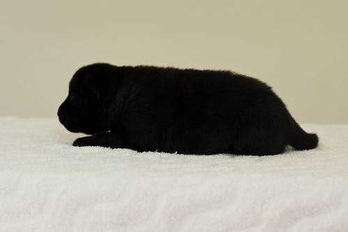 Ayui-Litter4-Day20-Puppy2-Female-d