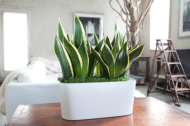1plant-snake-plant