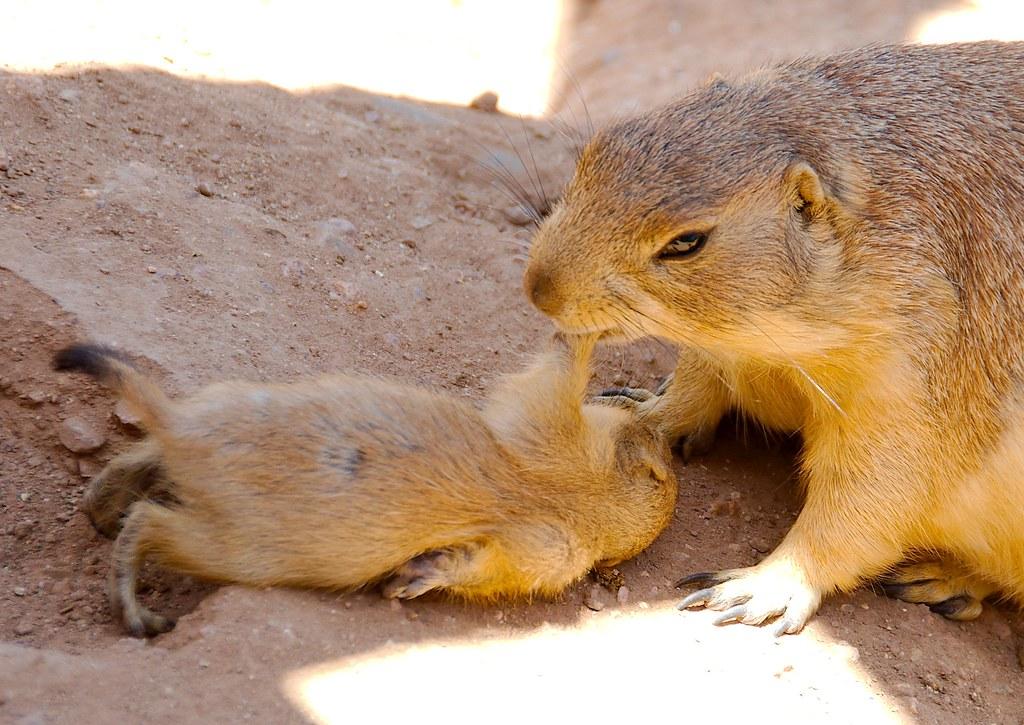 Prairie Dogs_4